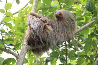 O bicho-preguiça é, de fato, um animal preguiçoso?