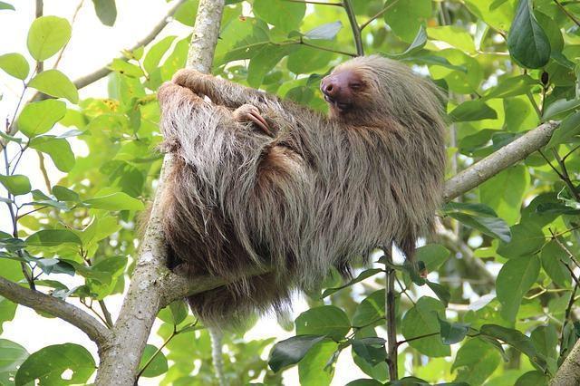 Bicho-preguiça em árvore
