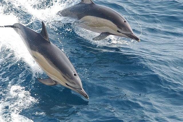 Imagem de golfinhos em alto mar