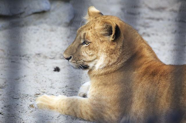 Saiba qual é o maior animal felino do mundo