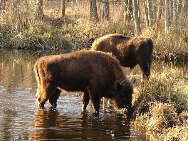 a-vida-animal-que-avanca-em-chernobyl-bisoes