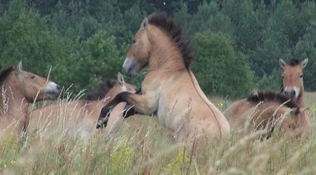 a-vida-animal-que-avanca-em-chernobyl-cavalos