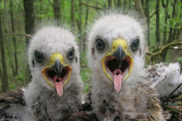 a-vida-animal-que-avanca-em-chernobyl-filhote-de-aguia