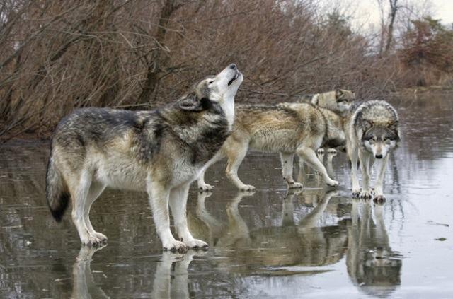 a-vida-animal-que-avanca-em-chernobyl-lobo