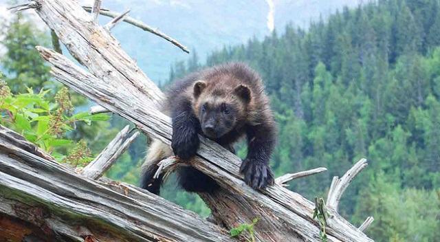 a-vida-animal-que-avanca-em-chernobyl-mamifero