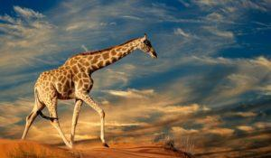 Giraffe (Giraffa camelopardalis) walking on a sand dune with clouds, South Africa