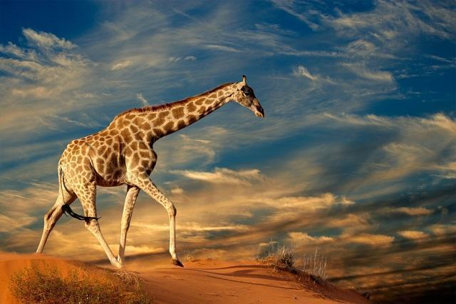 Scientists discover the existence of 4 types of giraffes