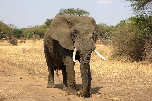 os-animais-que-poderao-deixar-de-existir-nos-proximos-anos elefante