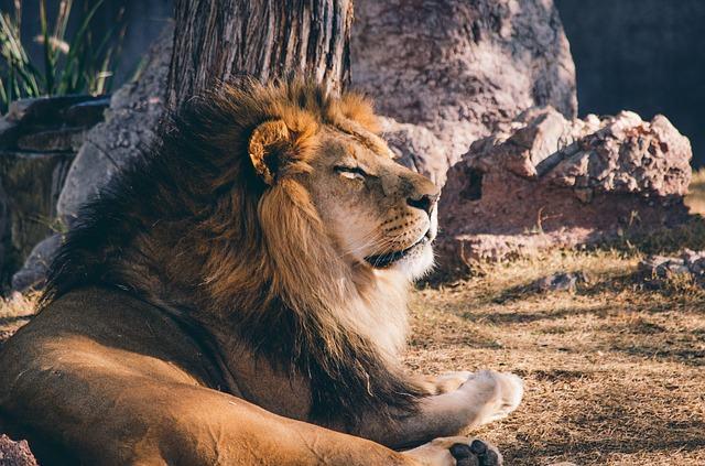 os-animais-que-poderao-deixar-de-existir-nos-proximos-anos leao