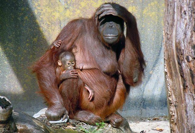 os-animais-que-poderao-deixar-de-existir-nos-proximos-anos orangotango