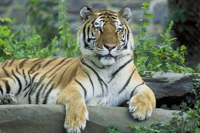 os-animais-que-poderao-deixar-de-existir-nos-proximos-anos tigre