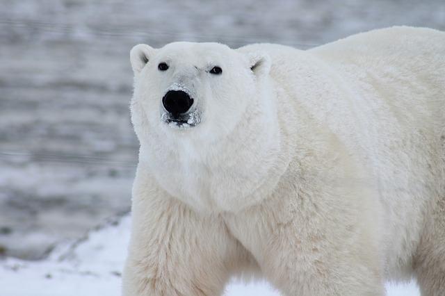 os-animais-que-poderao-deixar-de-existir-nos-proximos-anos urso