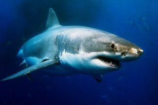 Saiba como é chamada a fêmea de um tubarão