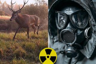 A vida animal que avança em Chernobyl