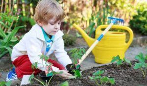 Cute preschool blond boy planting seeds and seedlings of tomatoes in vegetable garden