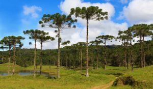 Landscape with Araucaria angustifolia ( Brazilian pine), road with sky and clouds background, Brazil. Selective focus