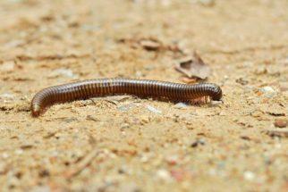 Diplópodes, o que são e como vivem. Conheça algumas espécies