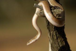 Sabia que as cobras já tiveram pernas e podem voltar a ter?