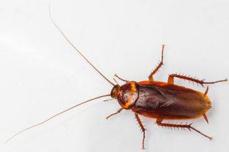 Baratas: vida, tipos e curiosidades. Conheça esse inseto