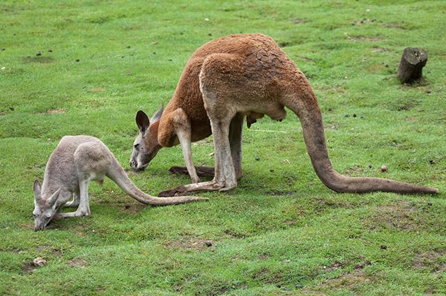 Kangaroos eating grass