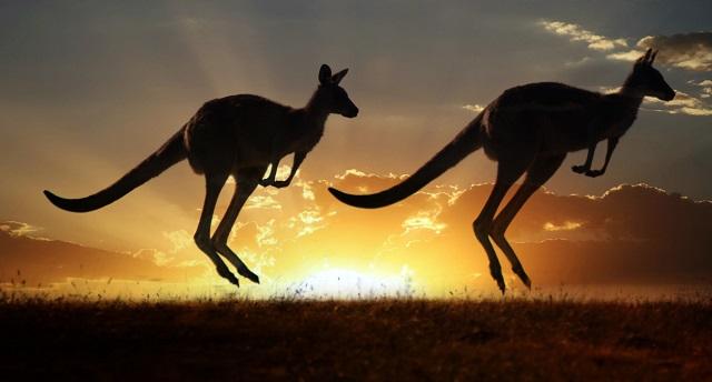Pair of kangaroos at sunset