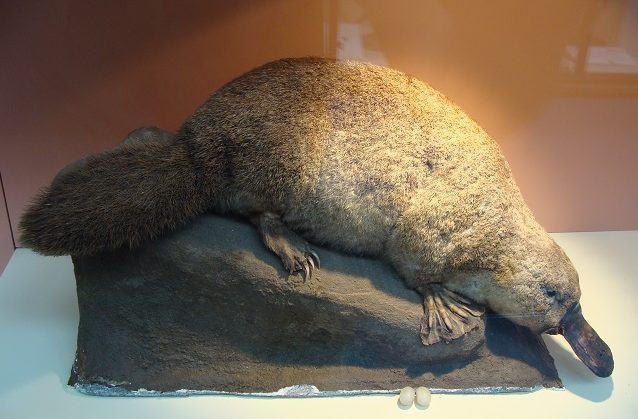Ornitorrinco, um fóssil vivo. Saiba mais sobre esse mamífero
