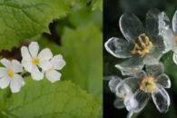 Conheça a flor que, quando molhada, suas pétalas ficam de vidro