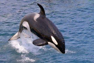 Por que as orcas são conhecidas como baleias assassinas?