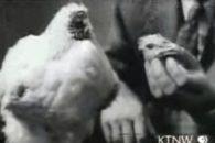 Conheça a história de Mike, o frango sem cabeça