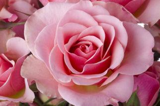 Quais são os tons da cor rosa?