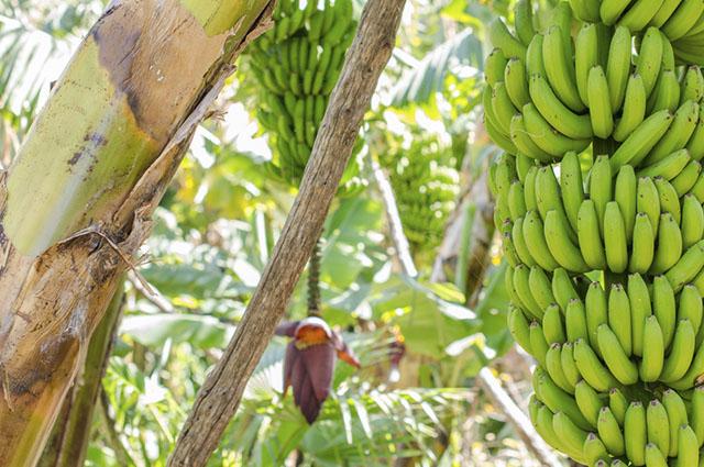 A reprodução da bananeira pode ocorrer de duas formas: a partir dos brotos ou do caule
