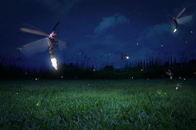 Em algumas espécies de vaga-lumes, apenas os machos voam