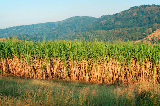 Por ter como matéria prima vegetais, o etanol é considerado um combustível renovável