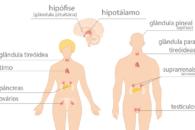 Sistema endócrino: resumo sobre o que é e suas funções