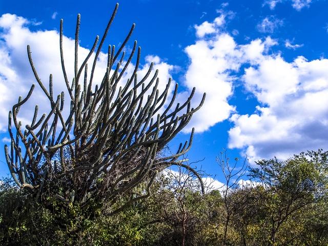 Cactus da região Nordeste