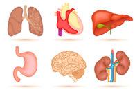 Órgãos do corpo humano: conheça quais são e detalhes