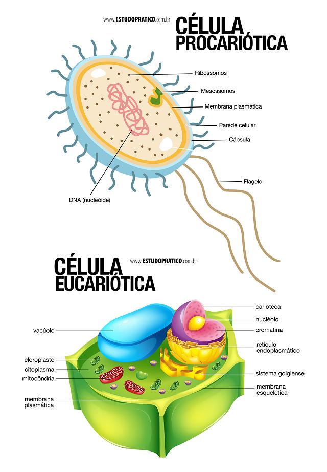 Diferença entre célula procarionte e eucarionte