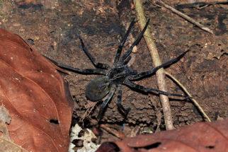 Aranha armadeira: curiosidades, características e fotos