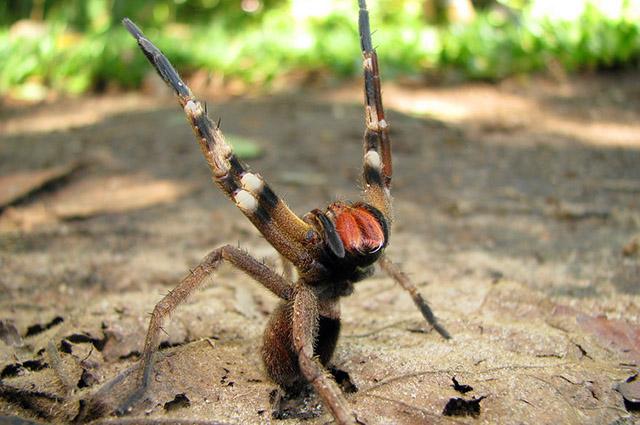 Aranha armadeira em posição de ataque