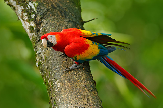Red macaw standing in a tree