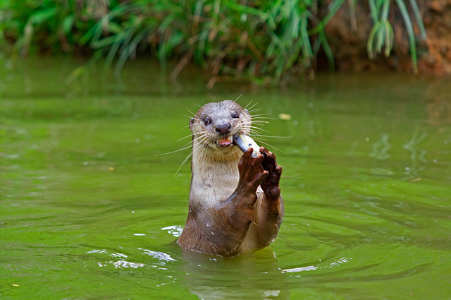 Otter in the river eating a fish