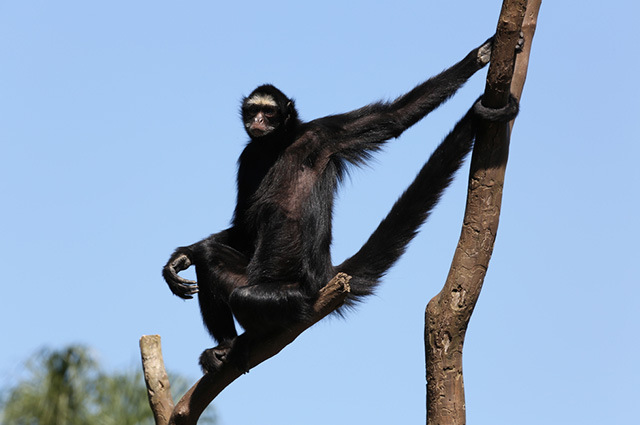Black monkey hanging on a tree branch