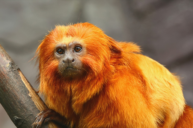 A golden lion tamarin on the tree branch