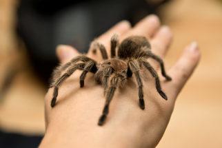 Aranhas venenosas: conheça os tipos mais perigosos