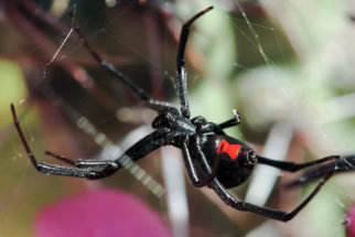 Aranha viúva negra: curiosidades, características e fotos