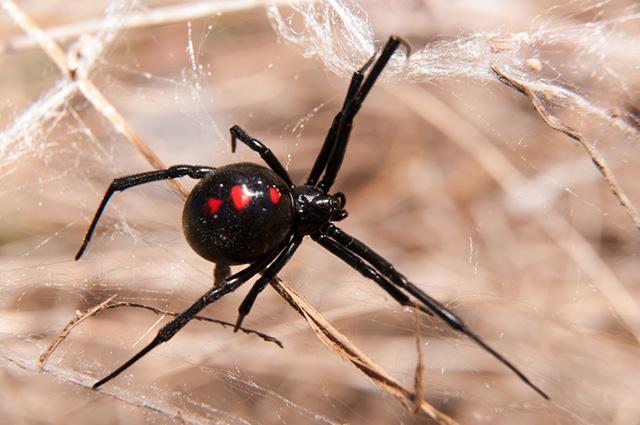 Aranha viúva negra capturando presa