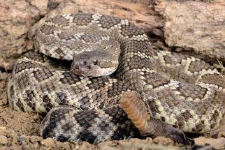Diferença em cobra, serpente e víbora
