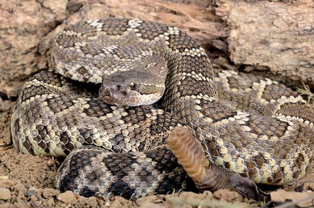 diferença em cobra serpente e víbora estudo prático