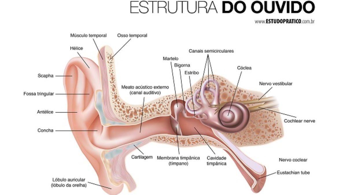 Qual O Menor Osso Do Corpo Humano Descubra Estudo Prático