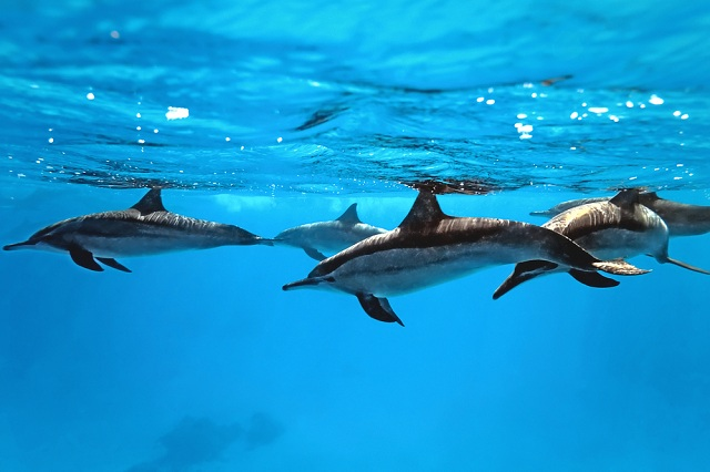 Group of dolphins swimming